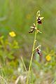 Ophrys insectifera - Kärbesõis Keila.jpg