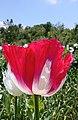 Opium poppy 2.jpg