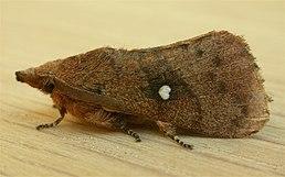 Opsirhina lechriodes