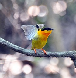 Orange-collared Manakin (7047753657).jpg