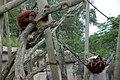 Orangutans Audubon Zoo.jpg