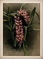 Orchid (Aerides savageanum); flowers and leaves. Colour chro Wellcome V0043163.jpg