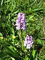 Orchid sp. (32959729680).jpg