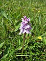 Orchid sp. (33214375941).jpg