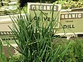 Organic Texas chives.jpg