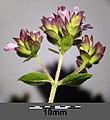 Origanum vulgare subsp. vulgare sl15.jpg