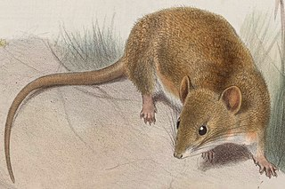 <i>Oryzomys couesi</i> A semiaquatic rodent in the family Cricetidae found from southernmost Texas through Mexico and Central America into northwestern Colombia