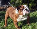 Ozbulldog.jpg
