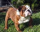 National Animal: Buldog