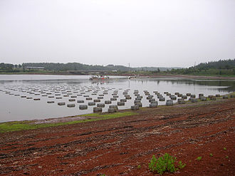 Oyster farming - Oysters farmed in baskets on Prince Edward Island, Canada