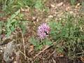 PR Vysoký tok, fialový květ.jpg