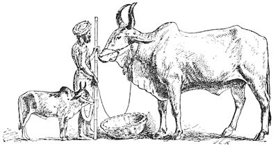 PSM V40 D620 Comparative sizes of breeds of indian oxen.jpg