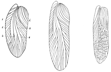 PSM V68 D249 Evolution of cockroach wings through geologic ages.png