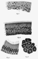PSM V71 D112 Sections of four sorts of epithelium.png
