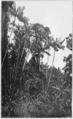PSM V82 D026 Forest adjoining the botanical garden at paramaribo.png