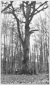 PSM V83 D597 Thousand year oak in spessart mountains bavaria germany.png