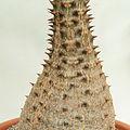 Pachypodium baronii-IMG 3434.jpg