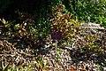 Paeonia bakeri, Conservatoire botanique national de Brest 01.jpg