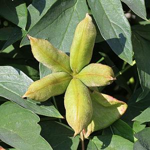 Paeonia rockii - Fruit