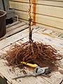 Paeonia s. 'TPG' 2014 (Tree Peony Garden).jpg