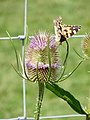 Painted Lady and teasel (3776123844).jpg