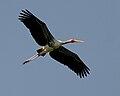 Painted Stork (Mycteria leucocephala) W IMG 7212.jpg