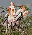 Painted Stork (Mycteria leucocephala) in Uppalapadu, AP W IMG 5067.jpg