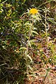 Pallenis spinosa-Astérolide épineux-2150609.jpg