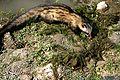 Palm Civet (Paradoxurus hermaphroditus).jpg