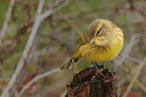 Description de l'image Palm_Warbler.jpg.