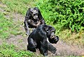 Pan troglodytes - Serengeti-Park Hodenhagen 08.jpg