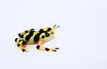 Panamanian Golden Frog lightbox 3.jpg
