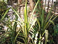 Pandanus sanderi-Lake park-2-yercaud-salem-India.JPG