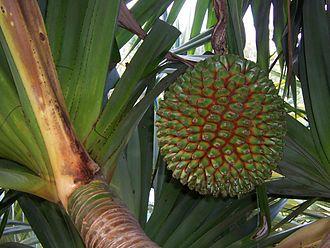 Pandanus - Fruit of Pandanus utilis