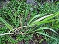 Panicum niihauense (5250066714).jpg