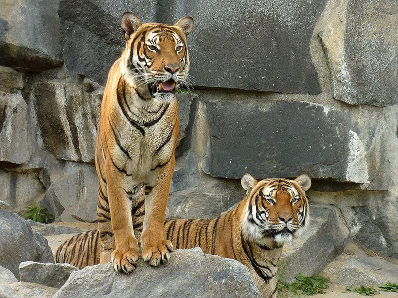 filepanthera tigris corbetti tierpark berlin 843725