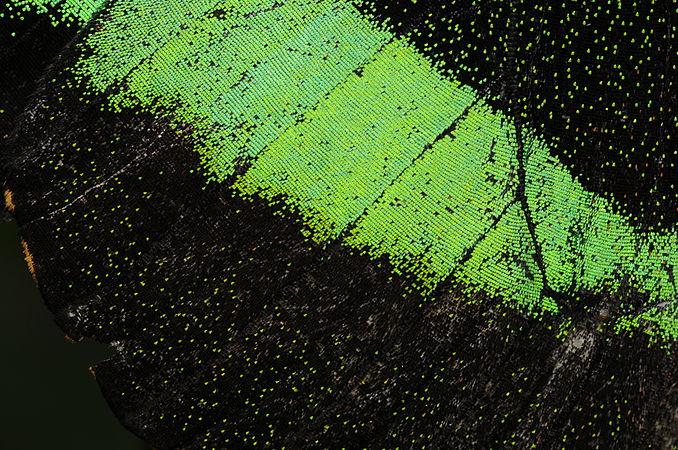 Papilio palinurus 2.jpg