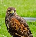 Parabuteo unicinctus -Whitehouse Farm Centre, Morpeth, Northumberland, England-8a.jpg