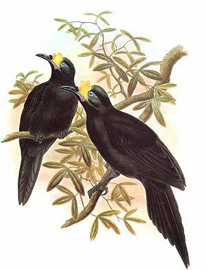 Long-tailed paradigalla - Image: Paradisier.caroncule .jogo