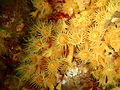 Parazoanthus sp Yellow zoanthid P2143481.JPG