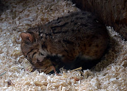 Parc des Felins Chat rubigineux Chaton 28082013.jpg
