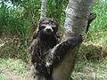 Paresseux-sloth-peru-maranon.JPG