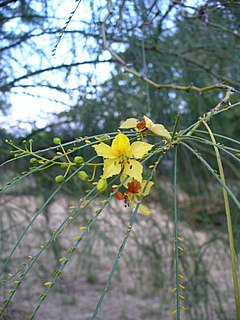 <i>Parkinsonia aculeata</i> species of plant