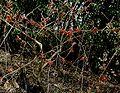 Parrotia-persica2.JPG
