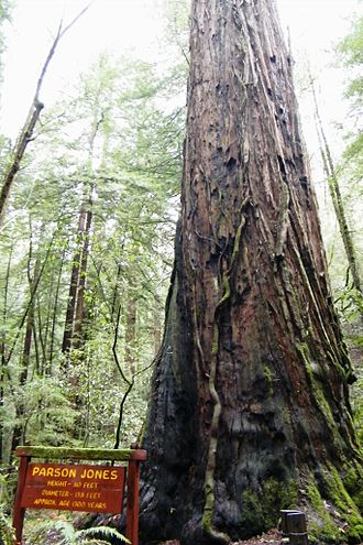 Armstrong Redwoods State Natural Reserve - Parson Jones, the tallest tree in the reserve