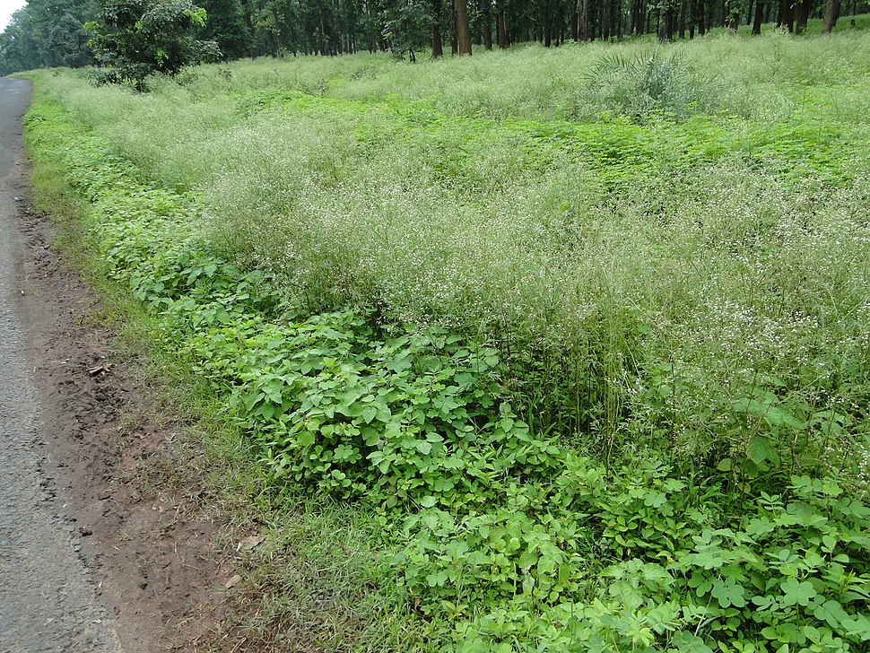 Parthenium smothering native flora in Biodiversity Rich Forest