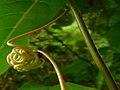 Passiflora Tendrils 02.jpg