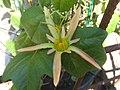 Passiflora herbertiana4.jpg
