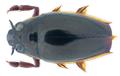Patrus nathani (Ochs, 1966) Syn.- Orectochilus nathani Ochs, 1966 (35171188946).png