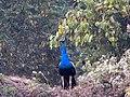 Peacock0.jpg